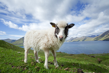 Faroe island, sheep