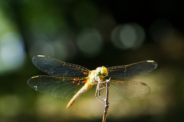 Macro shots, Beautiful nature scene dragonfly. Showing of eyes and wings detail. Dragon fly in the nature habitat using as a background or wallpaper.