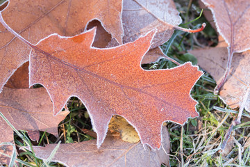 Eichenblätter mit Raureif