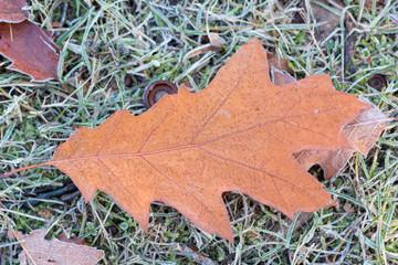 Eichenblatt auf gefrorener Wiese