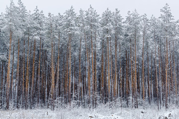 pine forest in winter. Winter forest landscape.