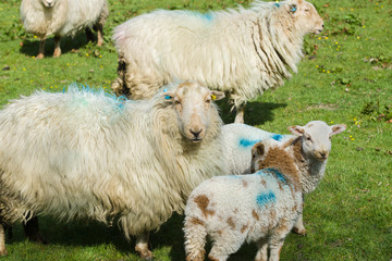 Welsh mountain sheep ewe keeps a watchful guard over her lambs on a mountain pasture in rural Bala North Wales