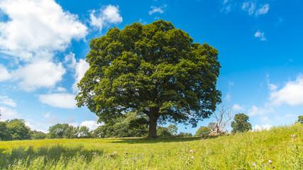 oak tree in field with blue sky
