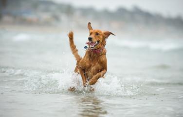 Golden Retriever dog running through ocean water