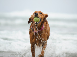Golden Retriever running out of water with ball