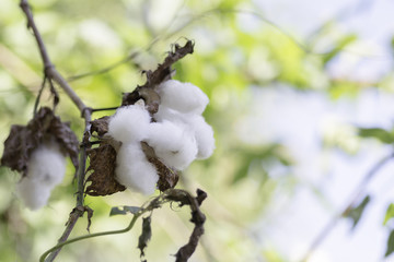 Cotton flowers on the branches