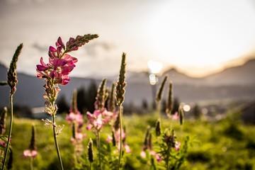 Allgäuer Blumenwelt im sommerlichen Sonnenuntergang