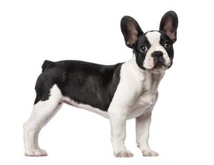 Poster Bouledogue français French Bulldog puppy (3 months old)