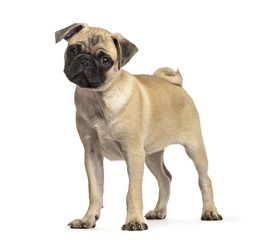 pug standing, dog, isolated on white