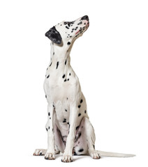 Wall Mural - Dalmatian dog, sitting, looking at the camera, isolated on white