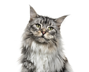Wall Mural - Close-up on a main coon cat face, isolated on white