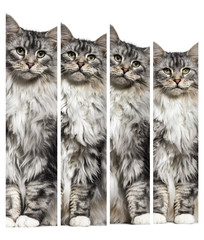 composition of Main coon cat sitting, isolated on white