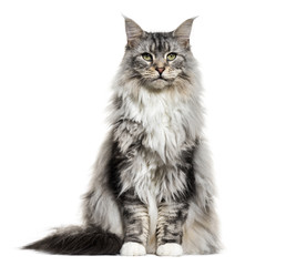 Main coon cat, sitting, isolated on white