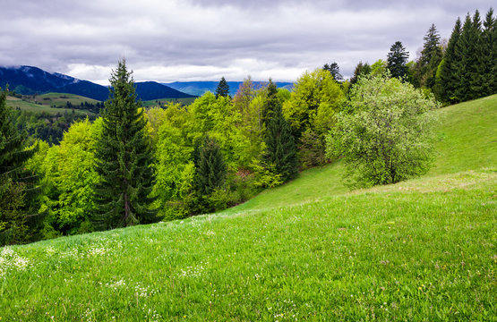 grassy meadow on forested hillside. beautiful nature scenery in mountains on an overcast spring day