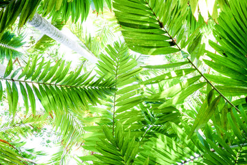 Tropical fern plants, 5 ferns spanning out from the bottom of the image plain white background, the ferns form different shades of green and different shapes, graphical image