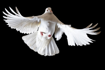 white pigeon flying on a black background