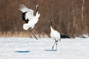 Japanese red head Tancho cranes in Hokkaido, Japan
