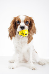 Cute cavalier king charles spaniel dog puppy on isolated white studio background. Dog puppy with ball. Cute.