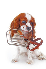 Dog with muzzle. Avoid bite snapper dogs. Cavalier king charles spaniel dog photo. Beautiful cute cavalier puppy dog on isolated white studio background. Trained pet photos for every concept. Cute.