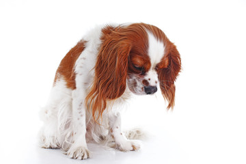 Cute sad dogcavalier king charles spaniel dog puppy on isolated white studio background. Dog puppy with sad face. Abandoned lonely puppy.