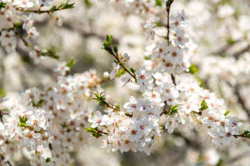 Blooming branches of plum tree in a spring garden - selective focus