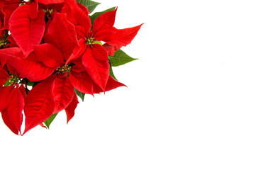 Christmas flower isolated white background Red poinsettia