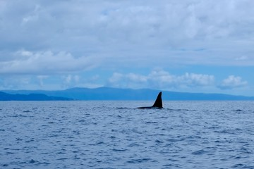 The tallest dorsal fin in the ocean, orca.