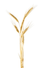 Spike of rye on a white background