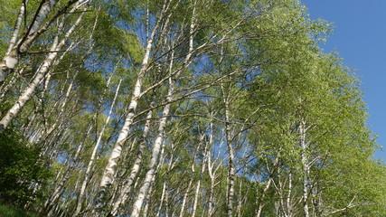 Alberi di betulla in montagna