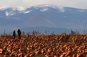 Teresa Freeman and Nathan Harris hunt for last minute Halloween pumpkins on Halloween Day with the Continental Divide in the background in Broomfield