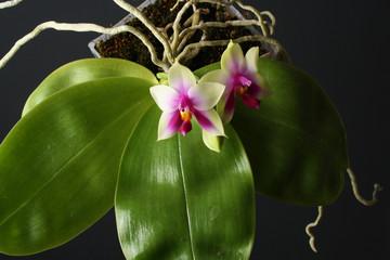 orchid Phalaenopsis bellina