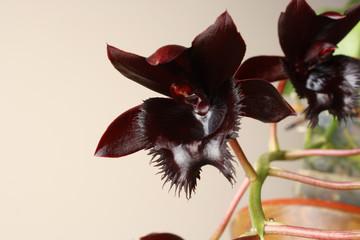 black orchid Fredklarkeara Midnight Lace