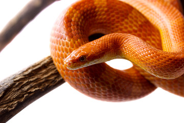 Orange corn snake crawling on a branch and looking forward on white background