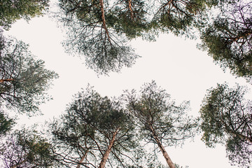 2176130 Green pines on a blue sky background. Bottom view