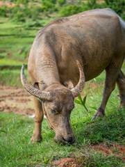Buffalo in the Shan Mountains