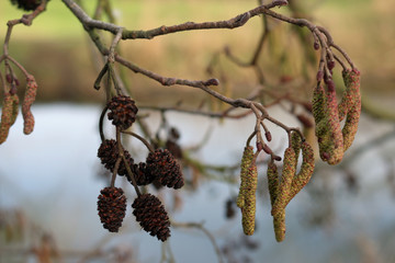 Alder tree cones and flowers