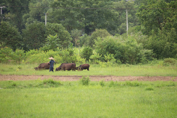 Farmer waking with his buffaloes near jasmine rice fields