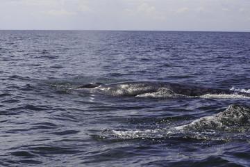 Bryde's whale or Eden's whale in Thai gulf, Phetchaburi