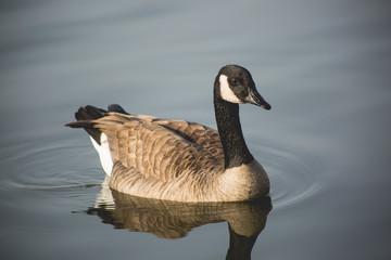 geese, canadian geese, goose, bird, feathers, wildlife, lake, water, missouri, nature, avian, wings, float, winter