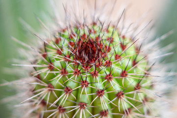 Cactus with red spots and whiteneedles