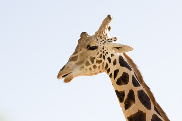 Giraffe head close up shot
