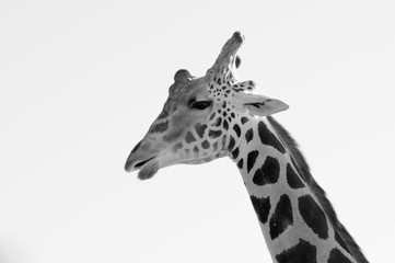 Close up image of a giraffe black and white