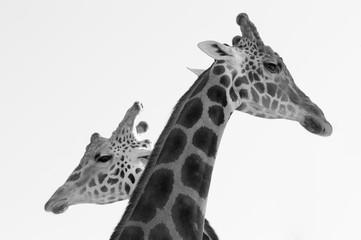 Two giraffes crossing long necks black and white