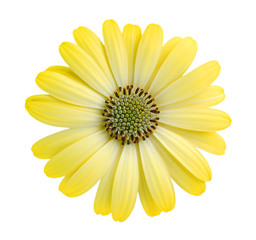 Close-up yellow daisy flower isolated on white background