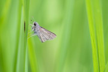 Family Hesperiidae butterfly on grass