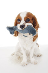 Dolphin toy with dog. .Cavalier king charles spaniel dog photo. Beautiful cute cavalier puppy dog on isolated white studio background. Trained pet photos for every concept.