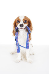 Pet harness with dog. Avoid puppy lost accidents. Beautiful friendly cavalier king charles spaniel dog. Purebred canine trained dog puppy. Blenheim spaniel dog puppy with pet harness. Cute harness,.