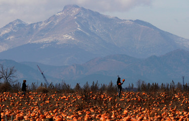Teresa Freeman and Nathan Harris hunt for last minute Halloween pumpkins on Halloween Day, with Long's Peak in the background in Broomfield