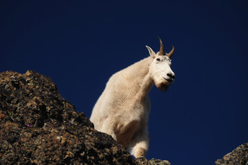 Looking up at a mountain goat on a sunny day in Washington state