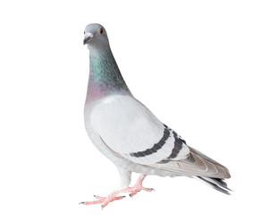 full body of homing pigeon bird isolated white background